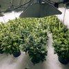 02192015_marijuana_plants_AP.jpg