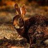 Bubonic plague China hunter rabbit