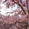 Stock_Carroll - Magnolia trees blossom in Fairmount Park